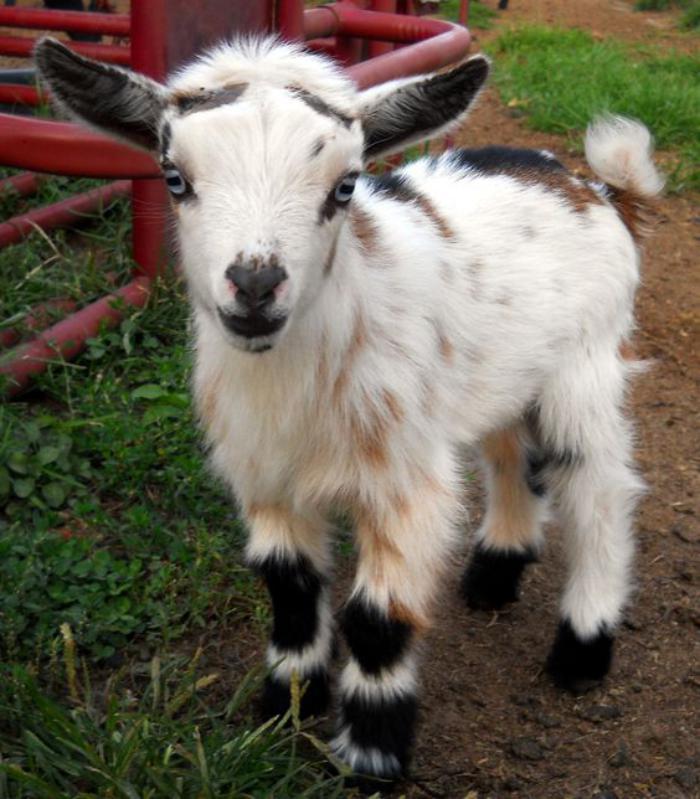 animaux-miniatures-chèvre-nain-coloration-intéressante