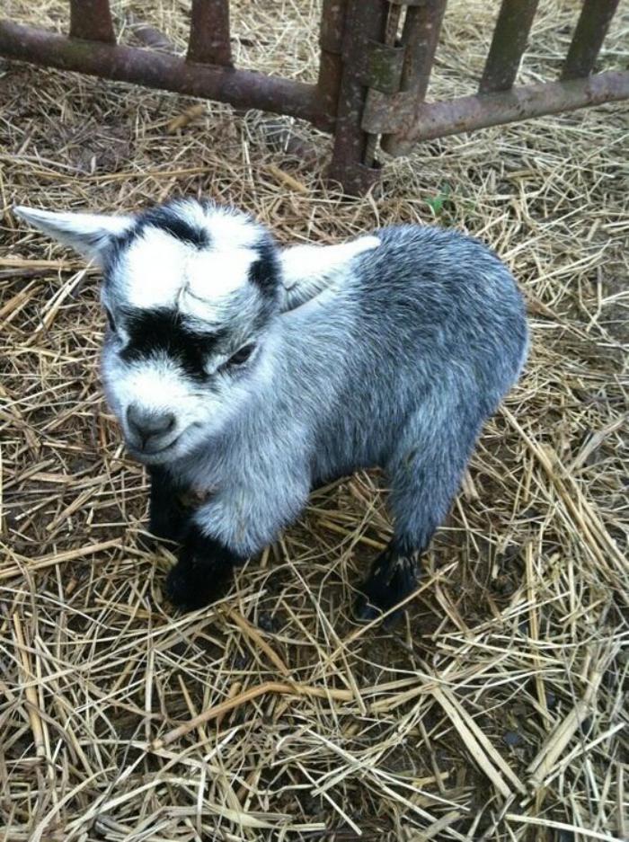 animaux-miniatures-chèvre-nain-grise-trop-mignonne