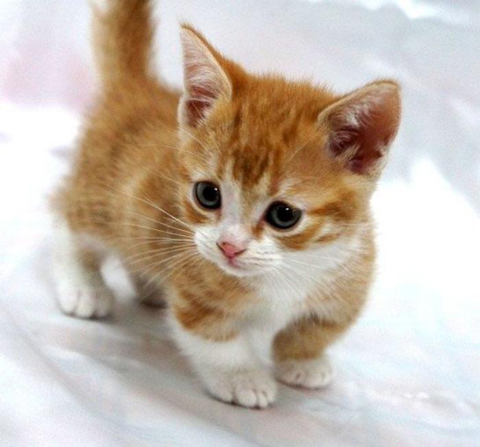 animaux-miniatures-chat-bébé-munchkin