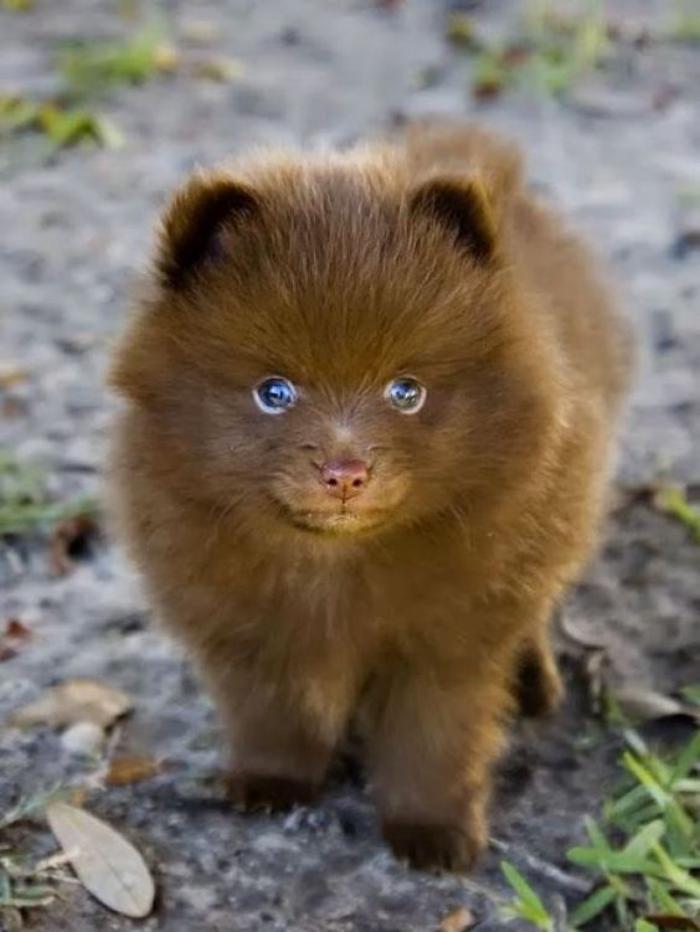 animaux-miniatures-chien-miniature-qui-ressemble-à-ourson