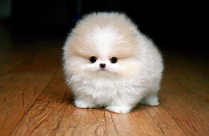 animaux-miniatures-chien-pomeranian-blanc