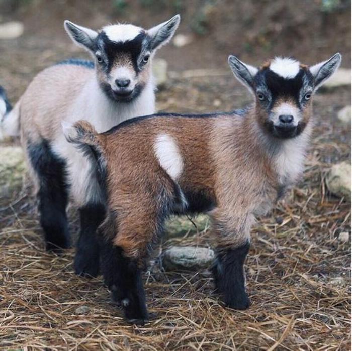 animaux-miniatures-deux-chèvres-naines-dans-une-ferme