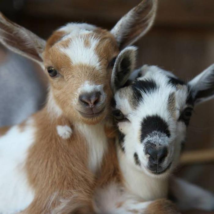 animaux-miniatures-deux-jolies-petites-chevres-naines