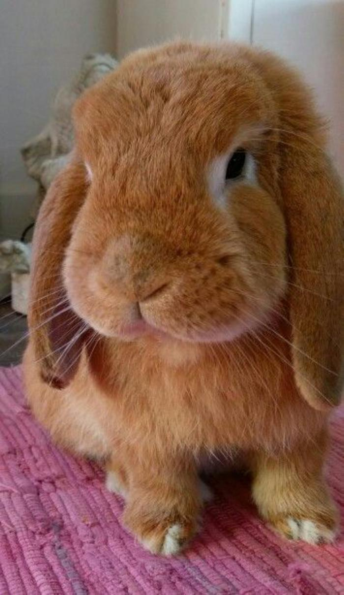 animaux-miniatures-lapin-bélier-nain-roux