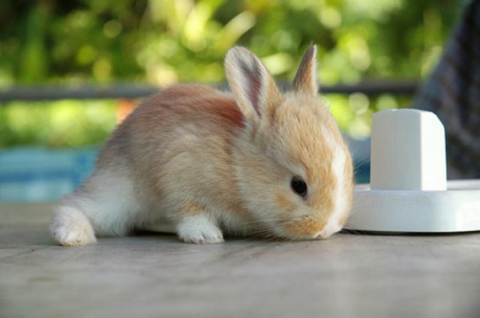 animaux-miniatures-lapin-nain-roux-et-blanc