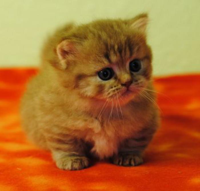 animaux-miniatures-le-chat-munchkin-une-jolie-petite-race-de-chats