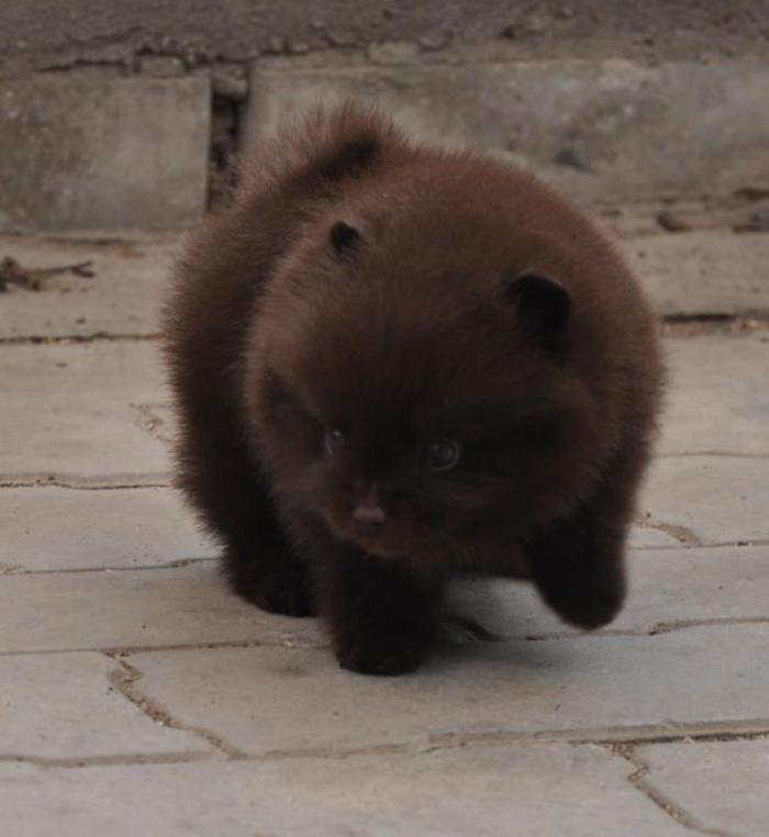 animaux-miniatures-petit-chien-qui-ressemble-à-un-ourson