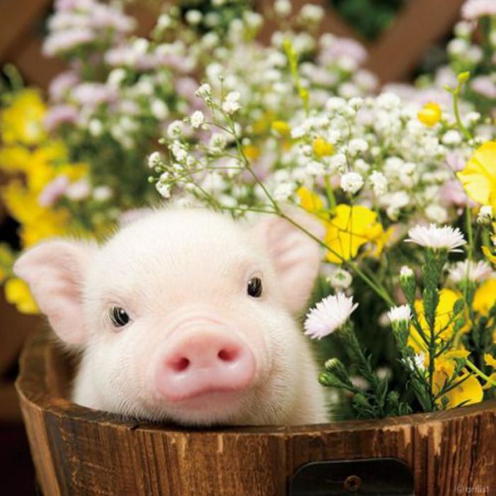 animaux-miniatures-petit-cochon-qui-vous-fait-craquer