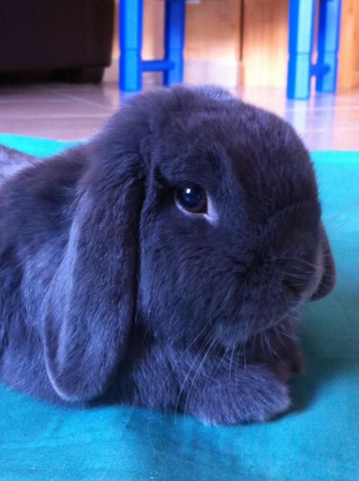 animaux-miniatures-petit-lapin-nain