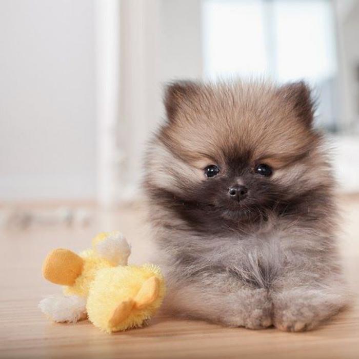 animaux-miniatures-pomeranien-mignon-avec-son-jouet