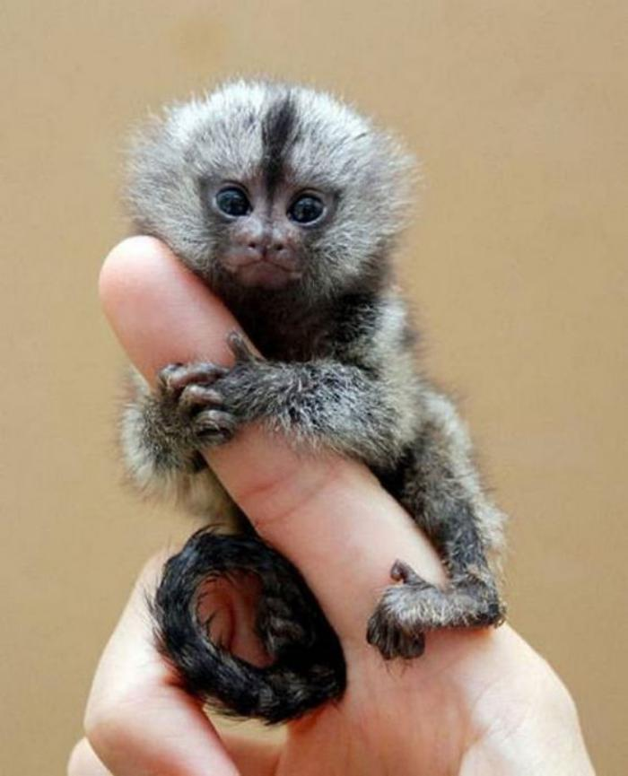 animaux-miniatures-singe-mignon-incroyable-qui-se-tient-à-votre-doigt