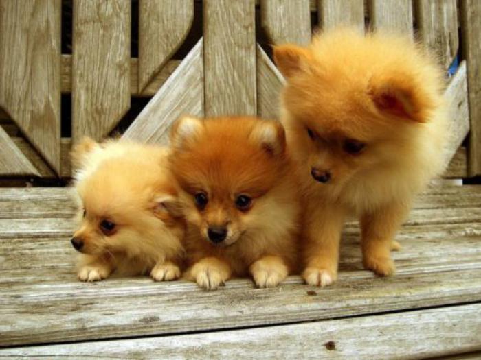 animaux-miniatures-trois-jolis-poméraniens-roux