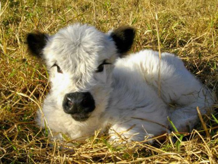 animaux-miniatures-vache-nain-aux-yeux-jolis