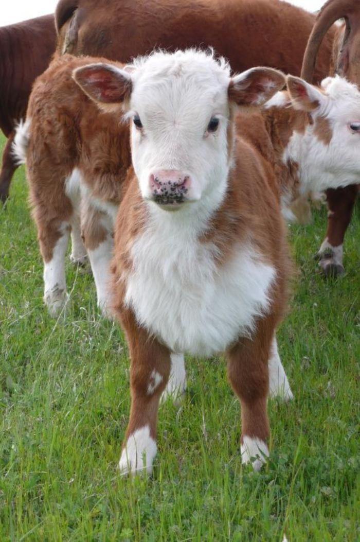 animaux-miniatures-vaches-miniatures-sur-une-pelouse-verte