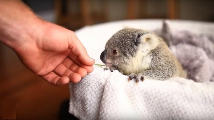 bébé-koala-de-nature-koala-animal-le-koala