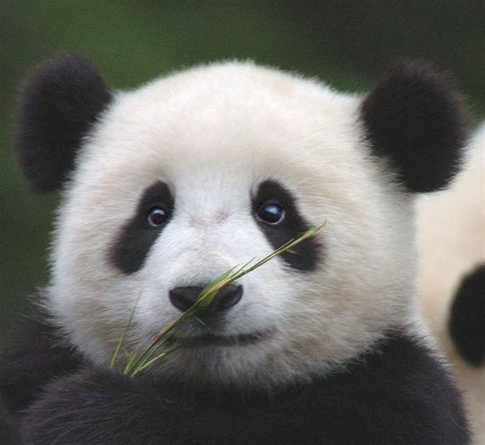 Le bébé panda - pouvez-vous choisir le plus mignon ...