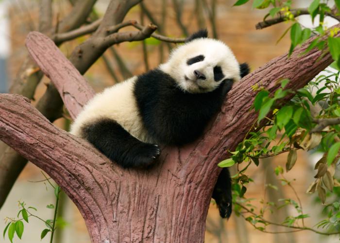 bébé-panda-jolies-images-animal-mignon-arbre