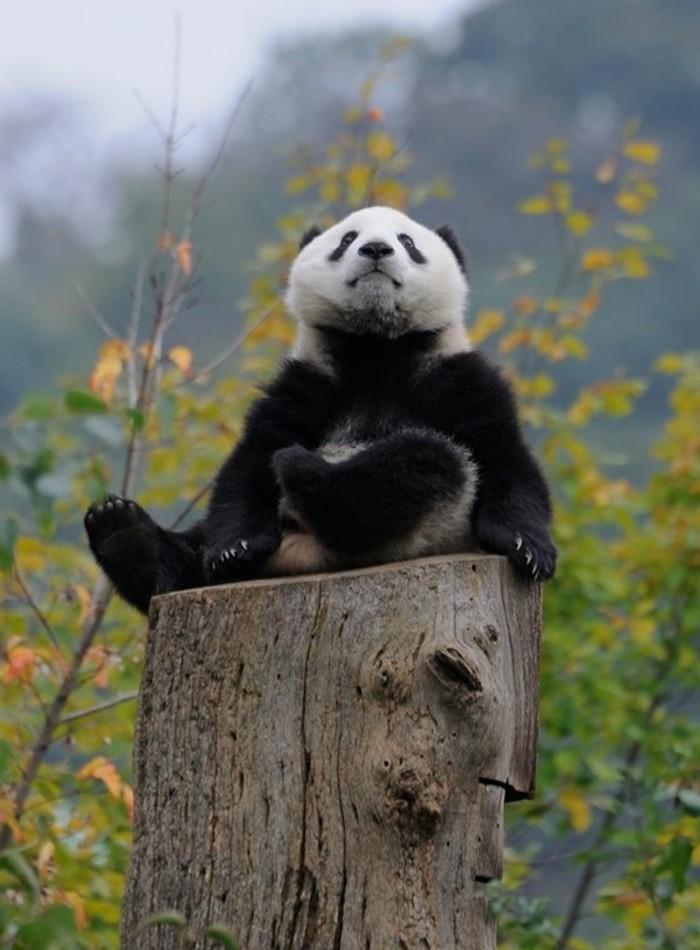 bébé-panda-jolies-images-animal-mignon-beauté-de-la-nature