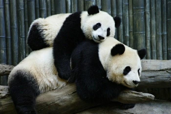 bébé-panda-jolies-images-animal-mignon-chouette