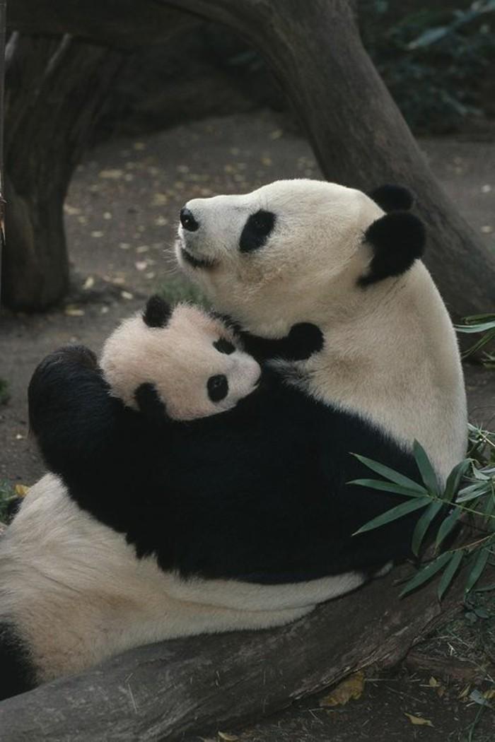 bébé-panda-jolies-images-animal-mignon-trop-cool