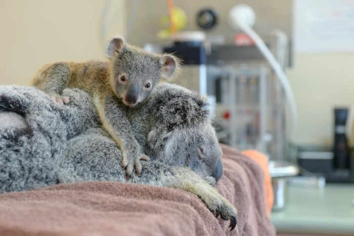 baby-koala-mother-cute-love-animals-pictures-pics-resized