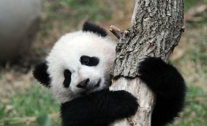 beau-bébé-panda-jolies-images-animal-mignon