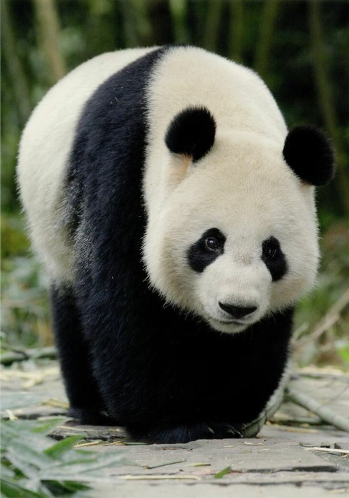 beau-panda-adorable-stickers-panda-chambre-bébé-embrasse