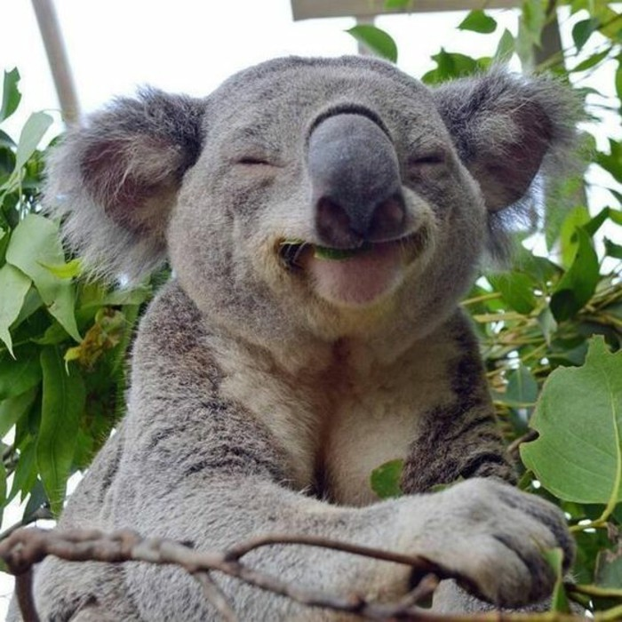 beauté-de-nature-koala-animal-le-koala-amusant