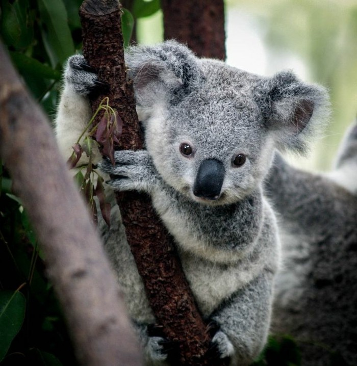 beauté-de-nature-koala-animal-le-koala-cool