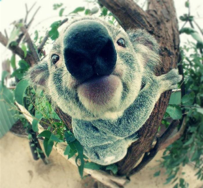 beauté-de-nature-koala-animal-le-koala-de-proche