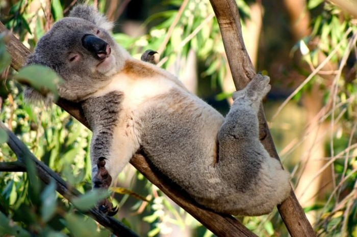 belle-nature-koala-animal-le-koala-endormi