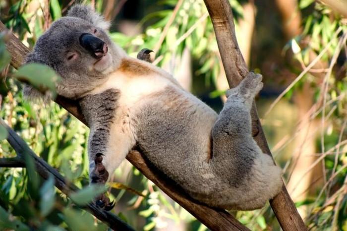 belle-nature-koala-animal-le-koala-endormi