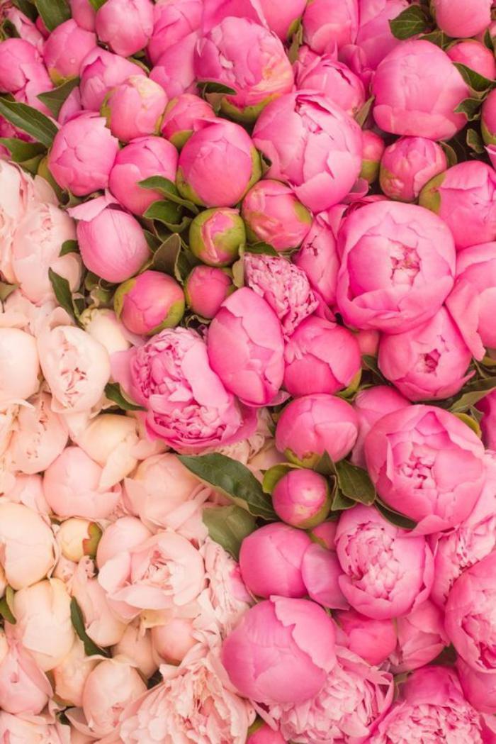 bouquet-de-pivoines-la-tendresse-charmante-des-pivoines-roses