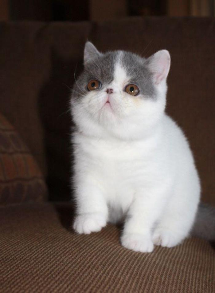 chat-persan-à-poil-court-blanc-et-gris