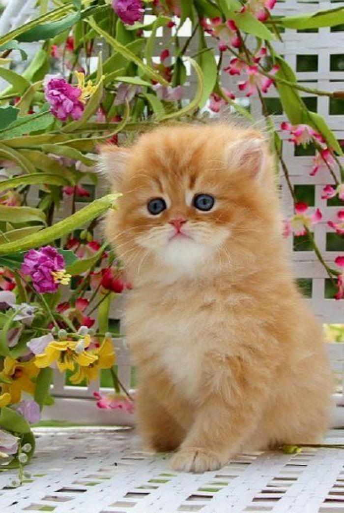 chat-persan-élever-des-chats-persans-animaux-de-compagnie