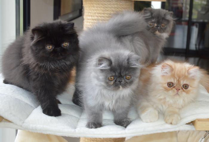 chat-persan-élever-des-chats-persans-chez-soi