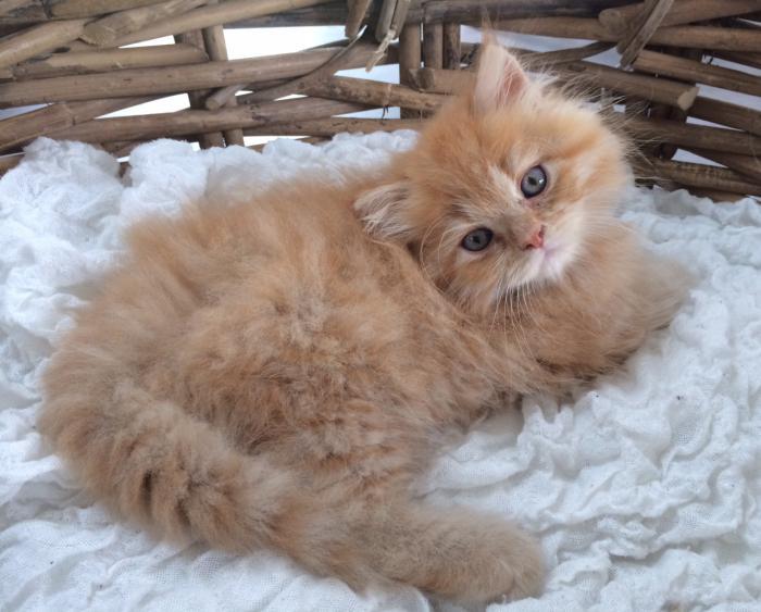 chat-persan-yeux-bleus-chat-très-mignon