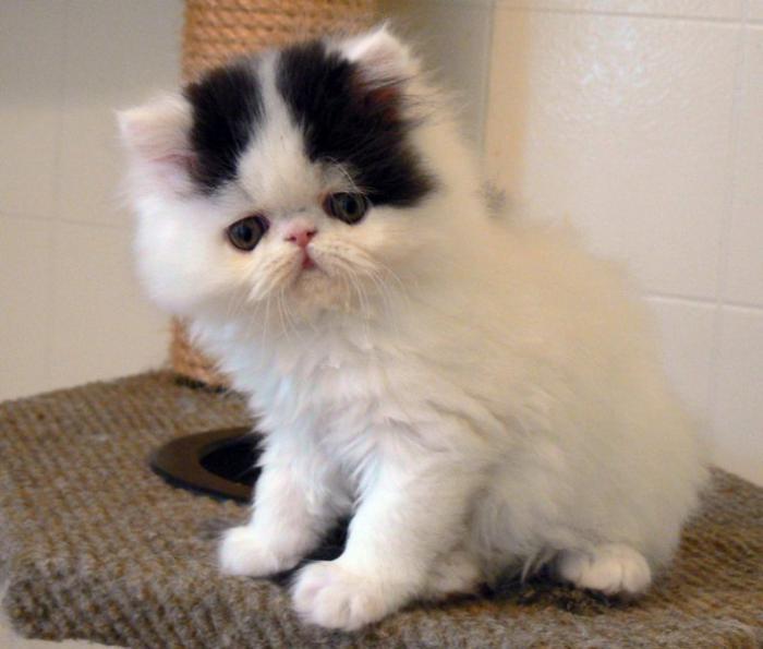 chat-persan-qui-a-l'air-curieux