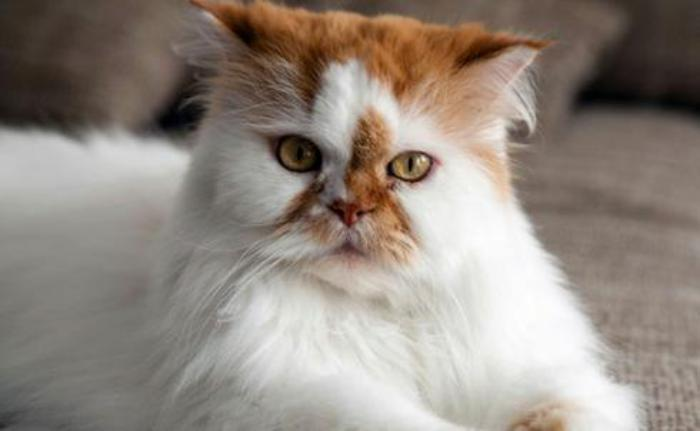 chat-persan-chat-fantastique-roux-et-blanc