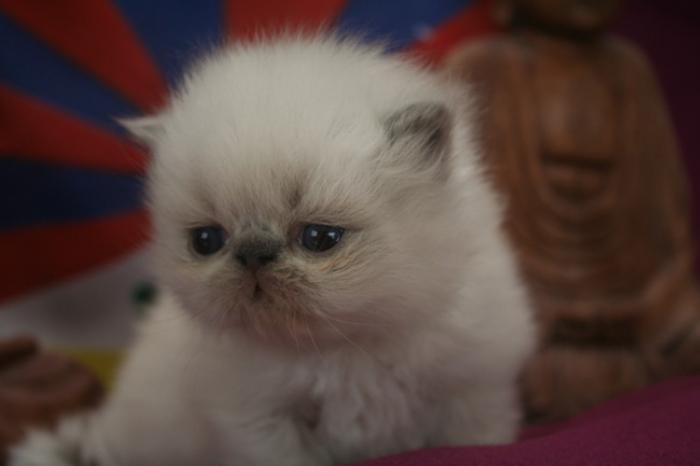 chat-persan-tout-petit-chat-bébé-persan