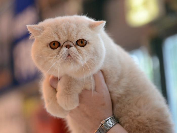 chat-persan-le-regard-du-chat-persan