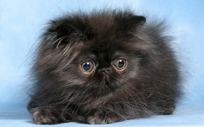 chat-persan-noir-petite-boule-mignonne