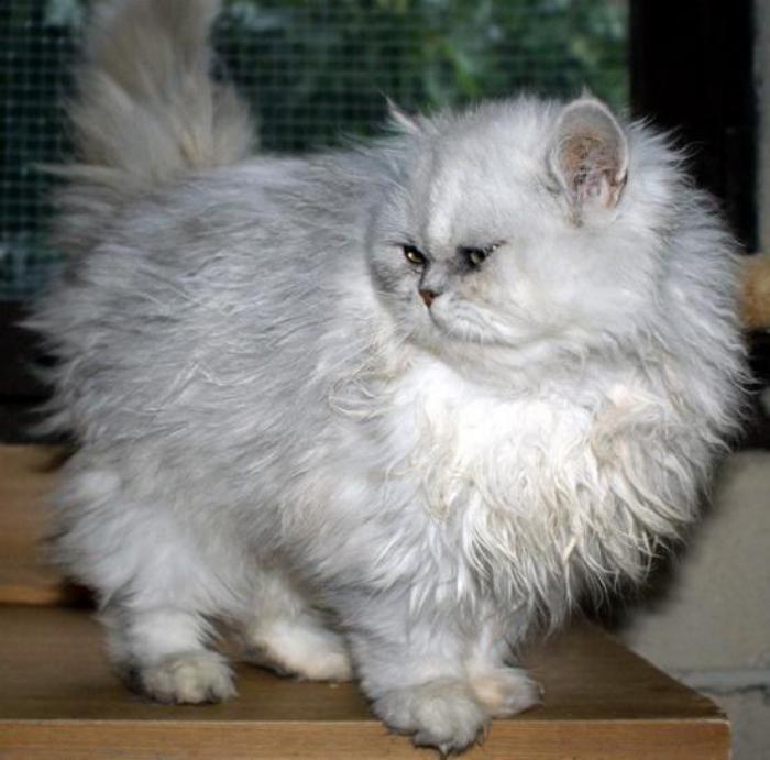 chat-persan-fantastique-couleur-grise-blanche-très-arrondi