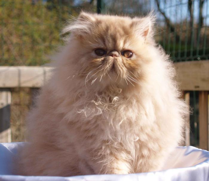 chat-persan-roux-majestueux-très-poilu-et-beau