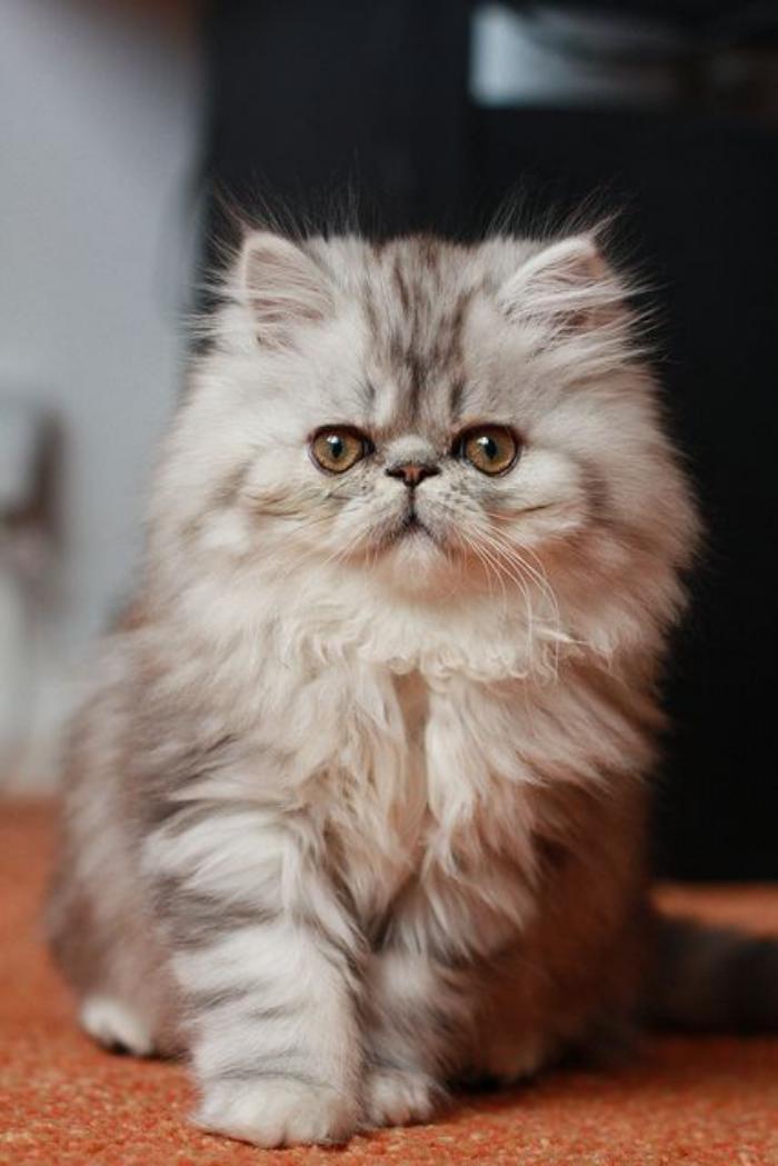 chat-persan-adorable-jeune-chat-persan
