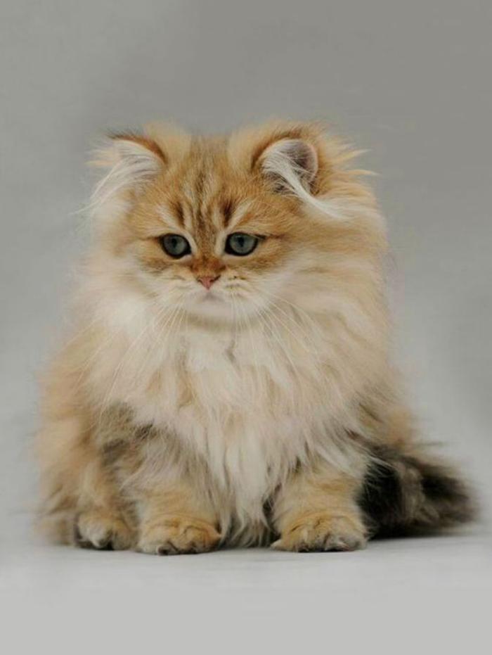 chat-persan-animaux-de-compagnie-chats-et-chiens-adorables