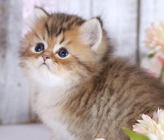 chat-persan-bébé-chaton-très-mignon