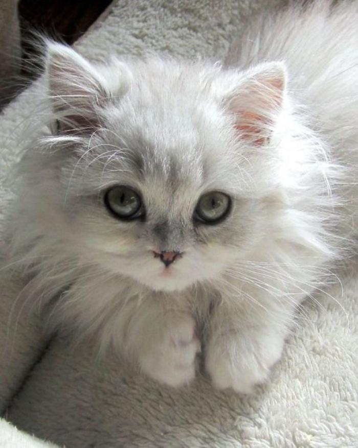 chat-persan-bébé-chinchilla-blanc