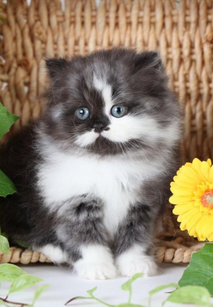 chat-persan-bébé-mignon-persan
