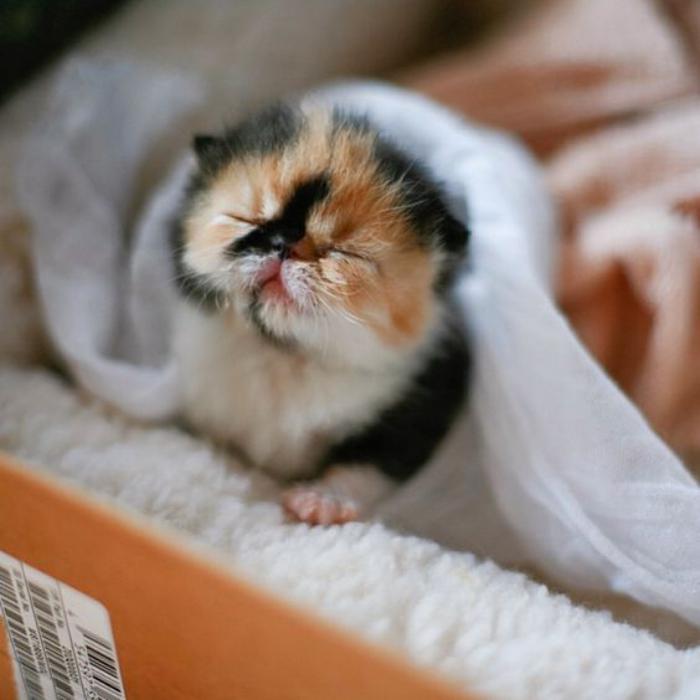 chat-persan-bébé-persan-tricolore-blanc-roux-et-noir